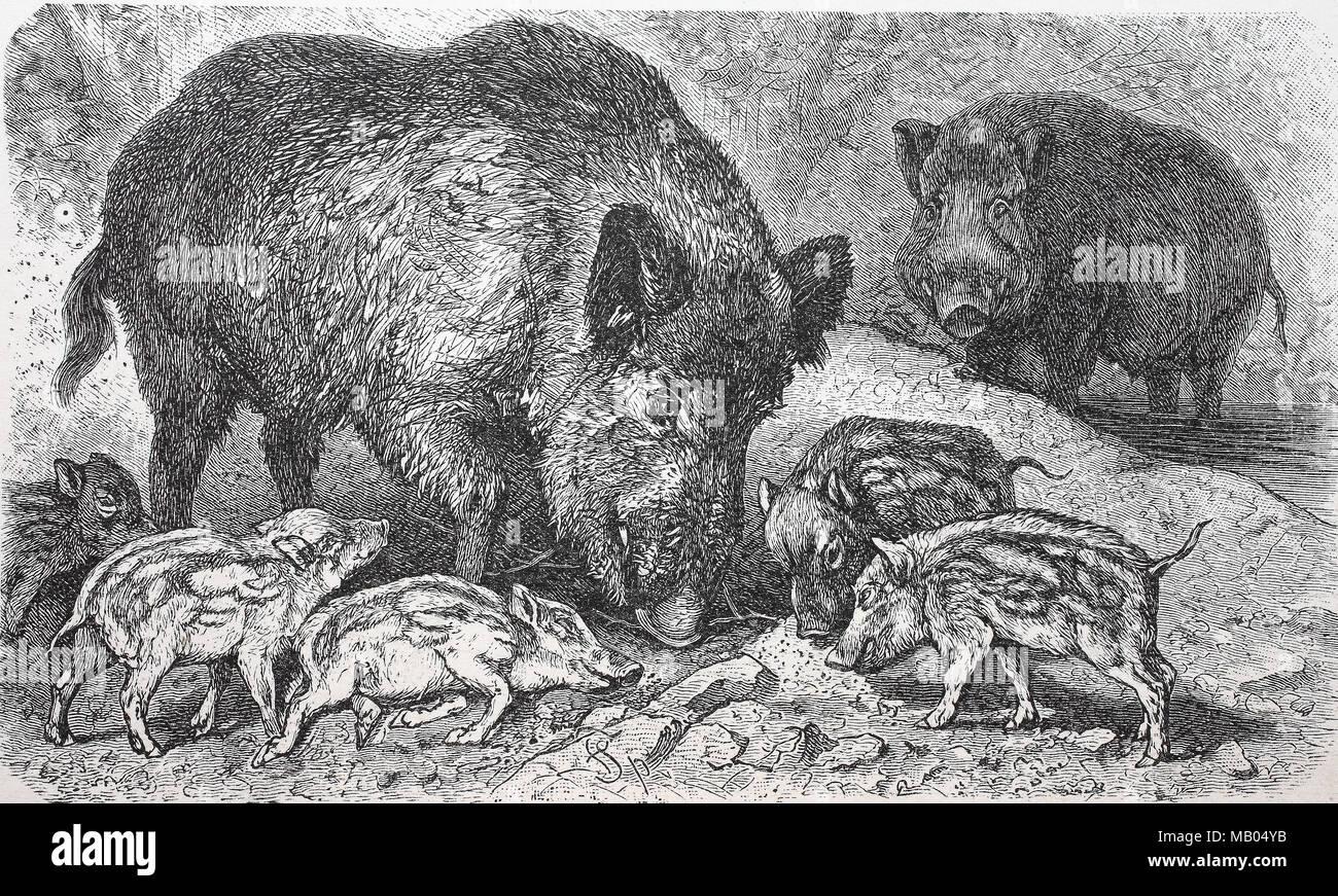 Wildschwein, Sus scrofa, Wildschwein, digital verbesserte Reproduktion einer Vorlage drucken aus dem Jahr 1895 Stockbild