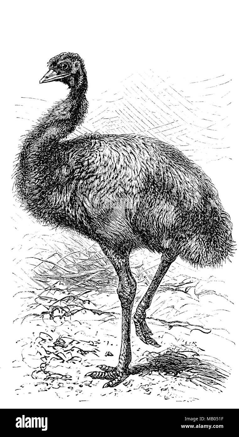 Großer Emu, Dromaius novaehollandiae, digital verbesserte Reproduktion einer Vorlage drucken aus dem Jahr 1895 Stockbild