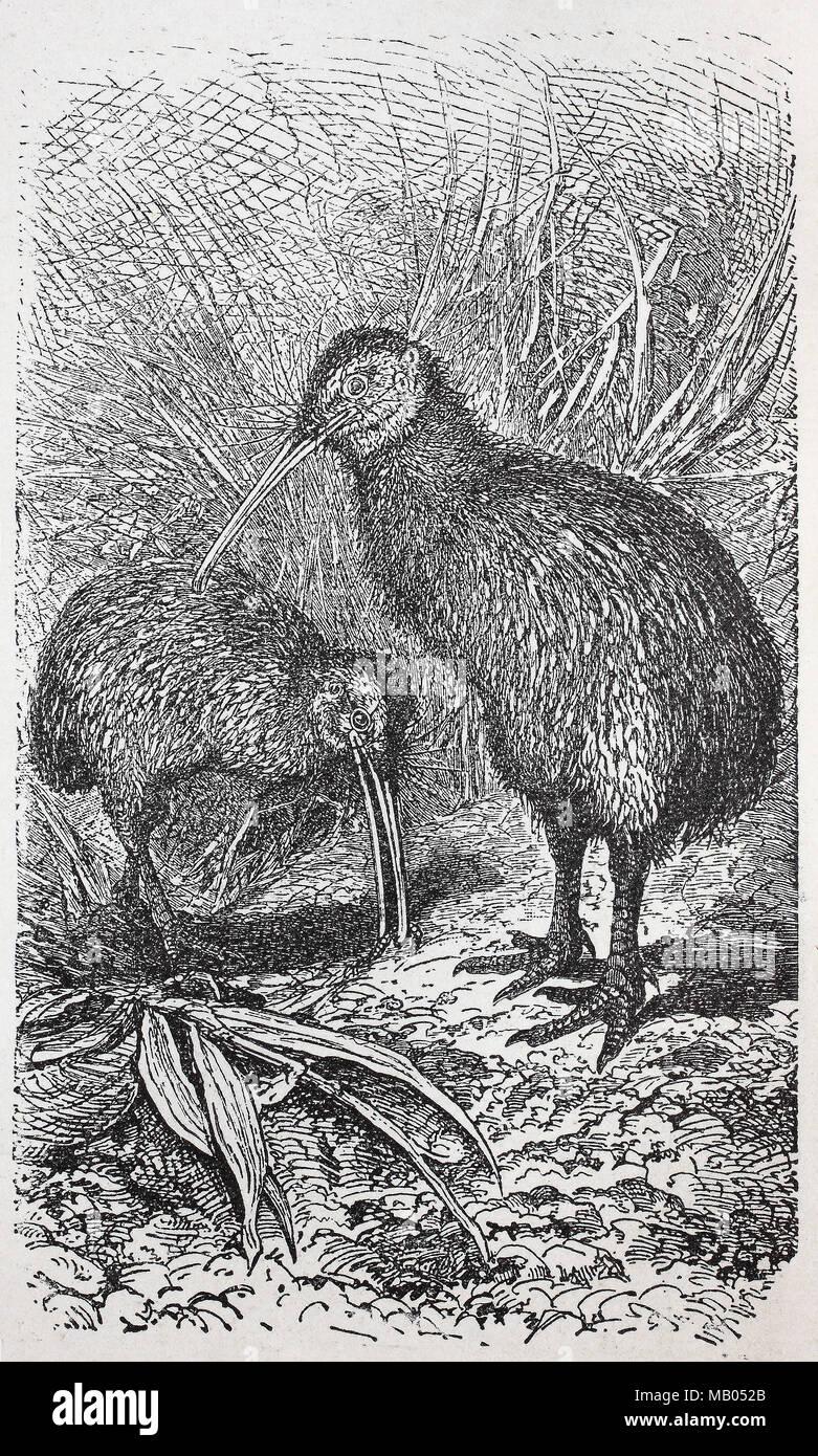Kiwi, Nördlicher Streifenkiwi, Apteryx Mantelli, North Island brown Kiwi, digital verbesserte Reproduktion einer Vorlage drucken aus dem Jahr 1895 Stockbild