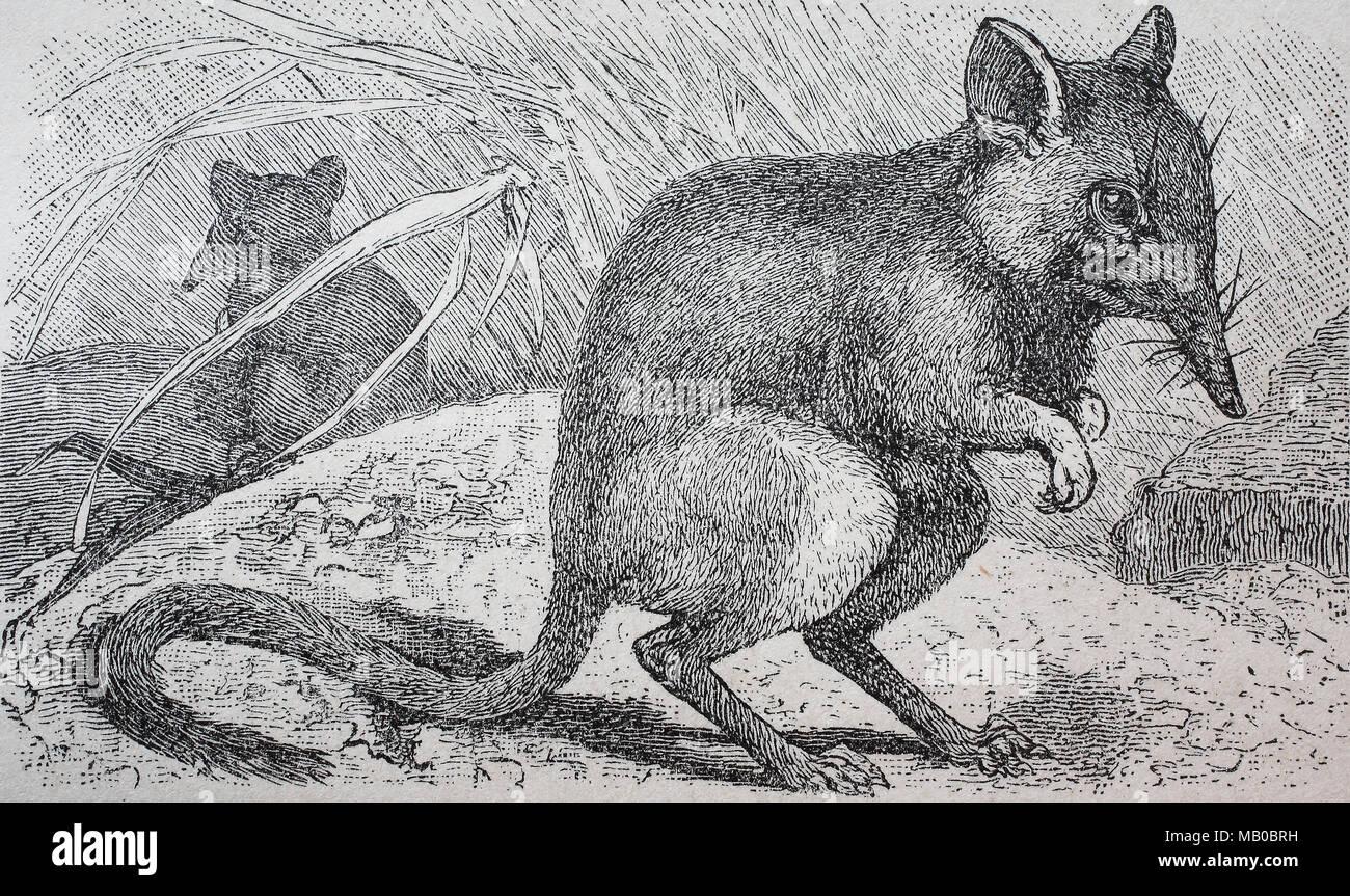 Rohrruessler, Macroscelides flavicaudatus, Namib Runde-eared sengi, Namib Runde-eared Rüsselhündchen, digital verbesserte Reproduktion einer Vorlage drucken aus dem Jahr 1895 Stockbild