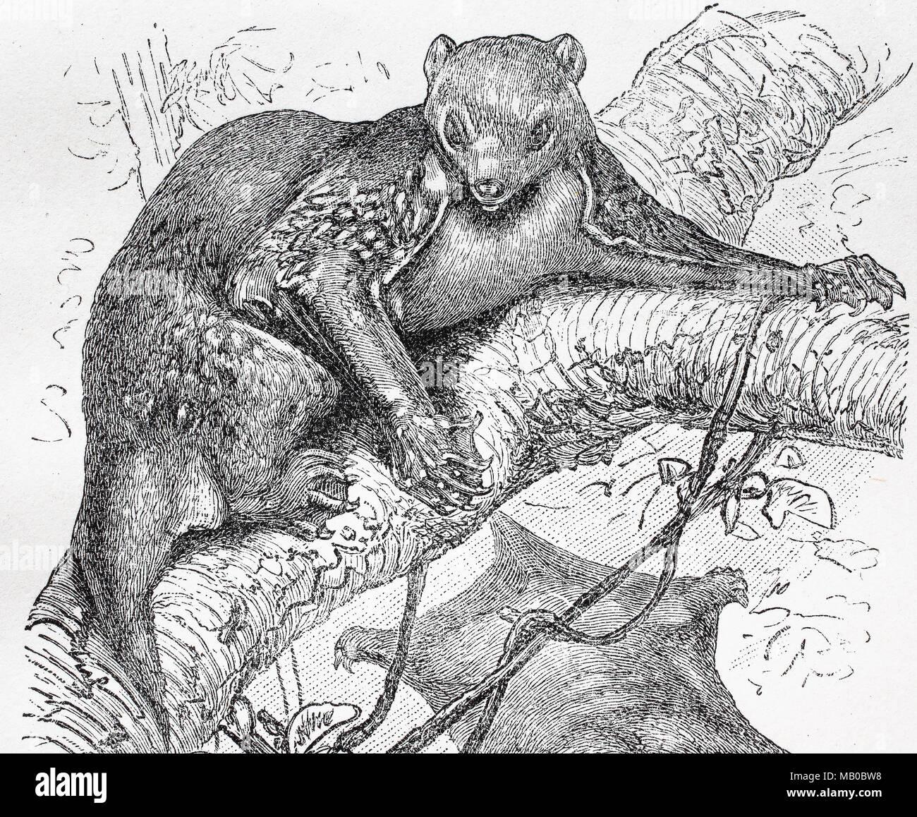 Flattermaki, malaien-gleitflieger oder auch Temminck-Gleitflieger, Cynocephalus variegatus, Galeopterus variegatus, Sunda Flying Lemur, digital verbesserte Reproduktion einer Vorlage drucken aus dem Jahr 1895 Stockbild