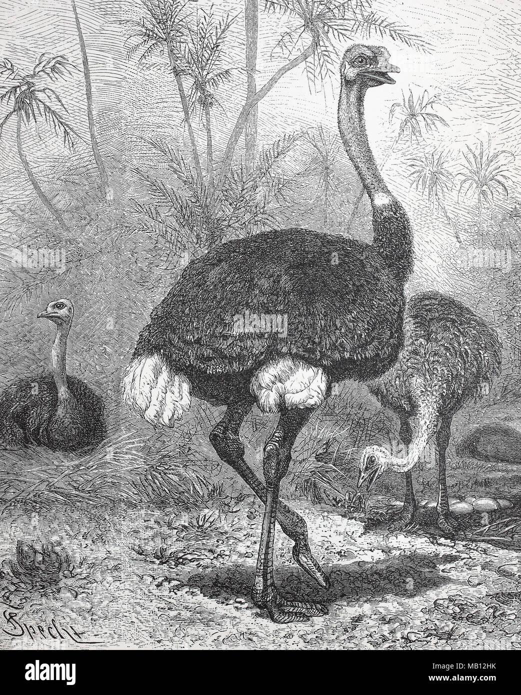 Betriebsprüfungen in Strauß Struthio camelus, Strauß, digital verbesserte Reproduktion einer Vorlage drucken aus dem Jahr 1895 Stockbild