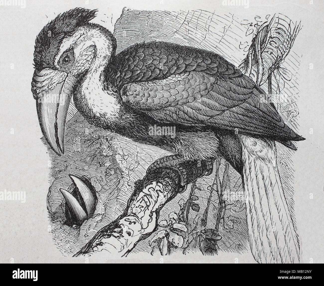 Faltenhornvogel, Jahrvogel, Doppelhornvogel, Buceros bicornis, Great Hornbill, digital verbesserte Reproduktion einer Vorlage drucken aus dem Jahr 1895 Stockbild