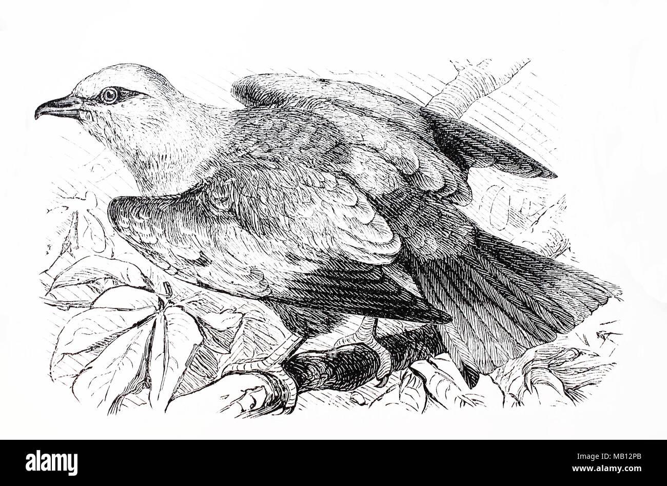 Mandelkrähe, Blauracke, Coracias garrulus, europäische Rolle, digital verbesserte Reproduktion einer Vorlage drucken aus dem Jahr 1895 Stockbild
