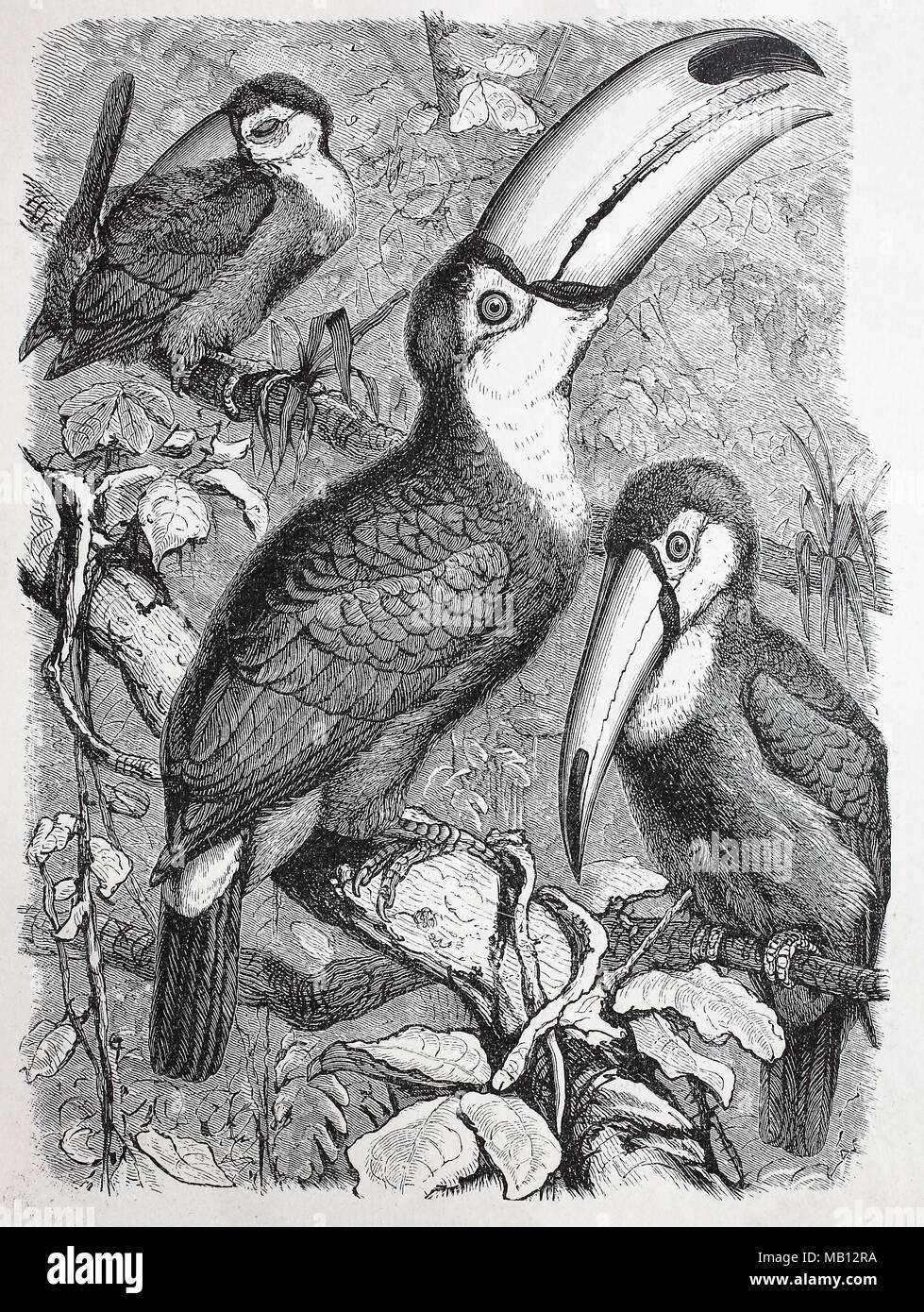 Riesentukan, Ramphastos toco, gemeinsame Toucan, riesige Toucan, digital verbesserte Reproduktion einer Vorlage drucken aus dem Jahr 1895 Stockbild