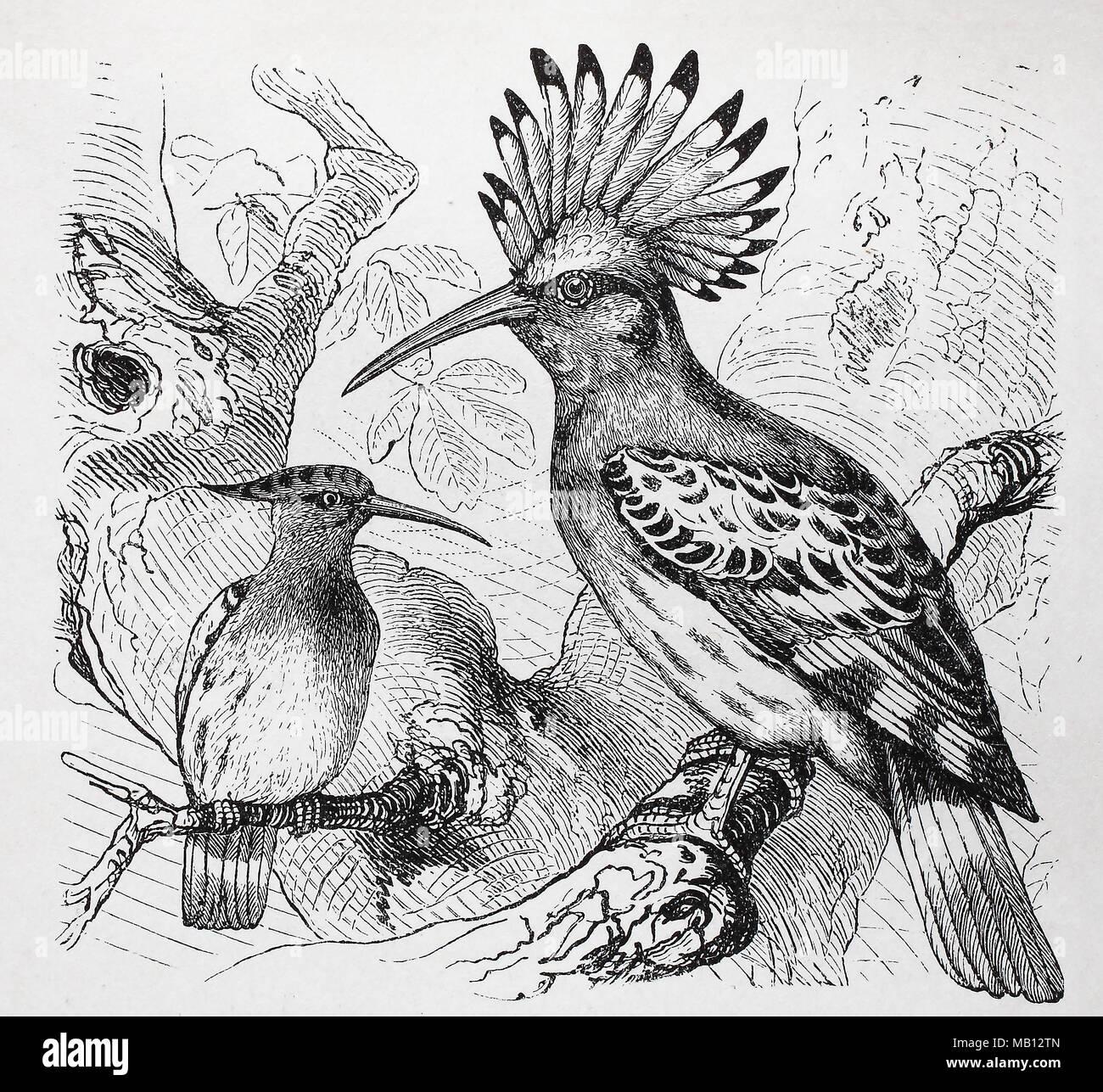 Europäischer Wiedehopf, Upupa epops Wiedehopf, Eurasien, digital verbesserte Reproduktion einer Vorlage drucken aus dem Jahr 1895 Stockbild