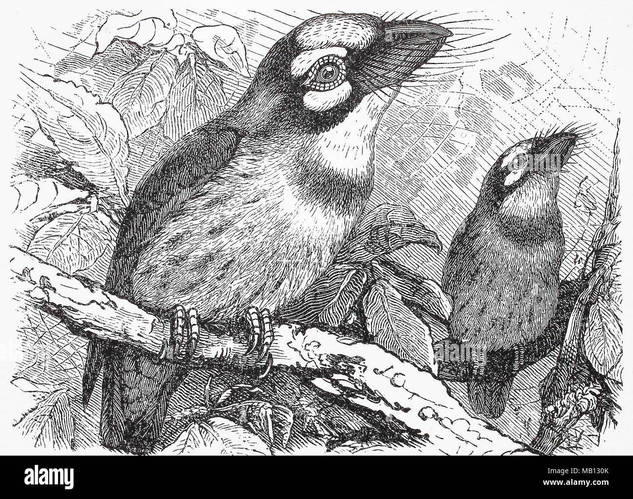 Rotkehliger Bartvogel, Rotgesicht-Bartvogel, Lybius rubrifacies, red-faced Barbet, digital verbesserte Reproduktion einer Vorlage drucken aus dem Jahr 1895 Stockbild
