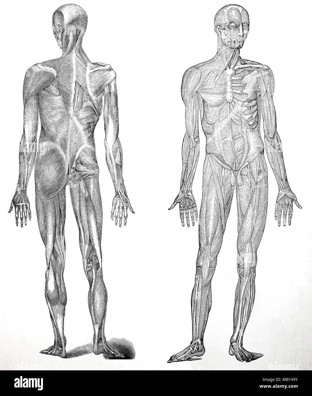 Ausgezeichnet Muskeln Des Menschlichen Körpers Ideen - Physiologie ...