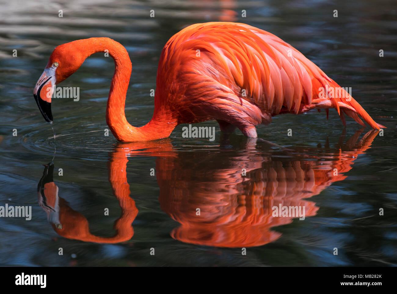 Dpatop - 06 April 2018, Deutschland, Dresden: Ein roter Flamingo steht innerhalb der Teich in seinem Gehäuse an der Dresdner Zoo. Foto: Monika Skolimowska/dpa-Zentralbild/dpa Stockbild