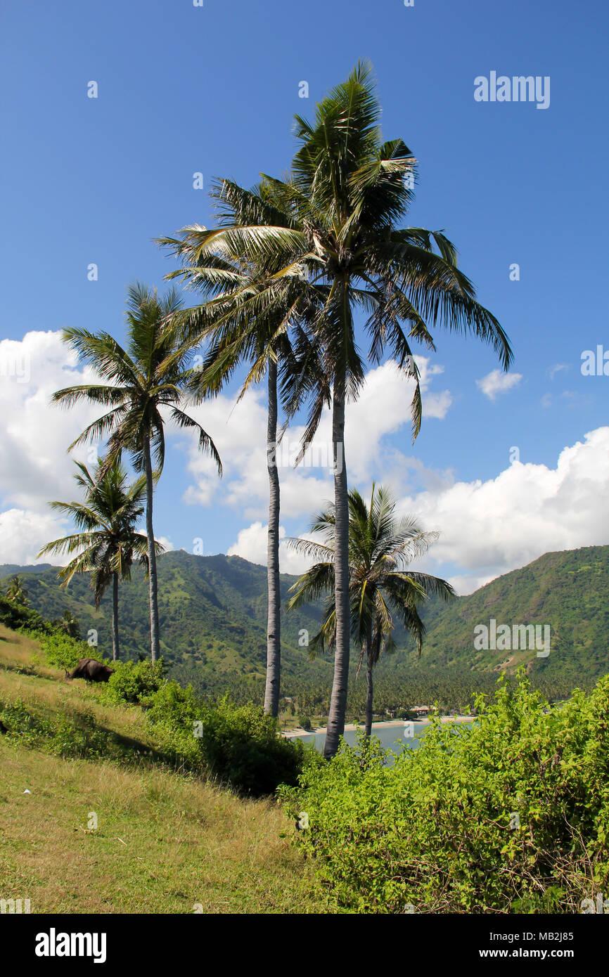 Eine Reihe von Kokospalmen in Lombok, Indonesien Stockbild