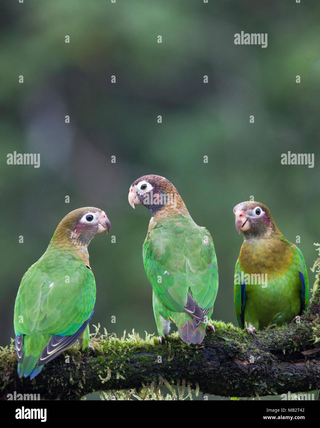 Braun mit Kapuze Papageien (Pyrilia Haematotis) thront auf Zweig Stockbild