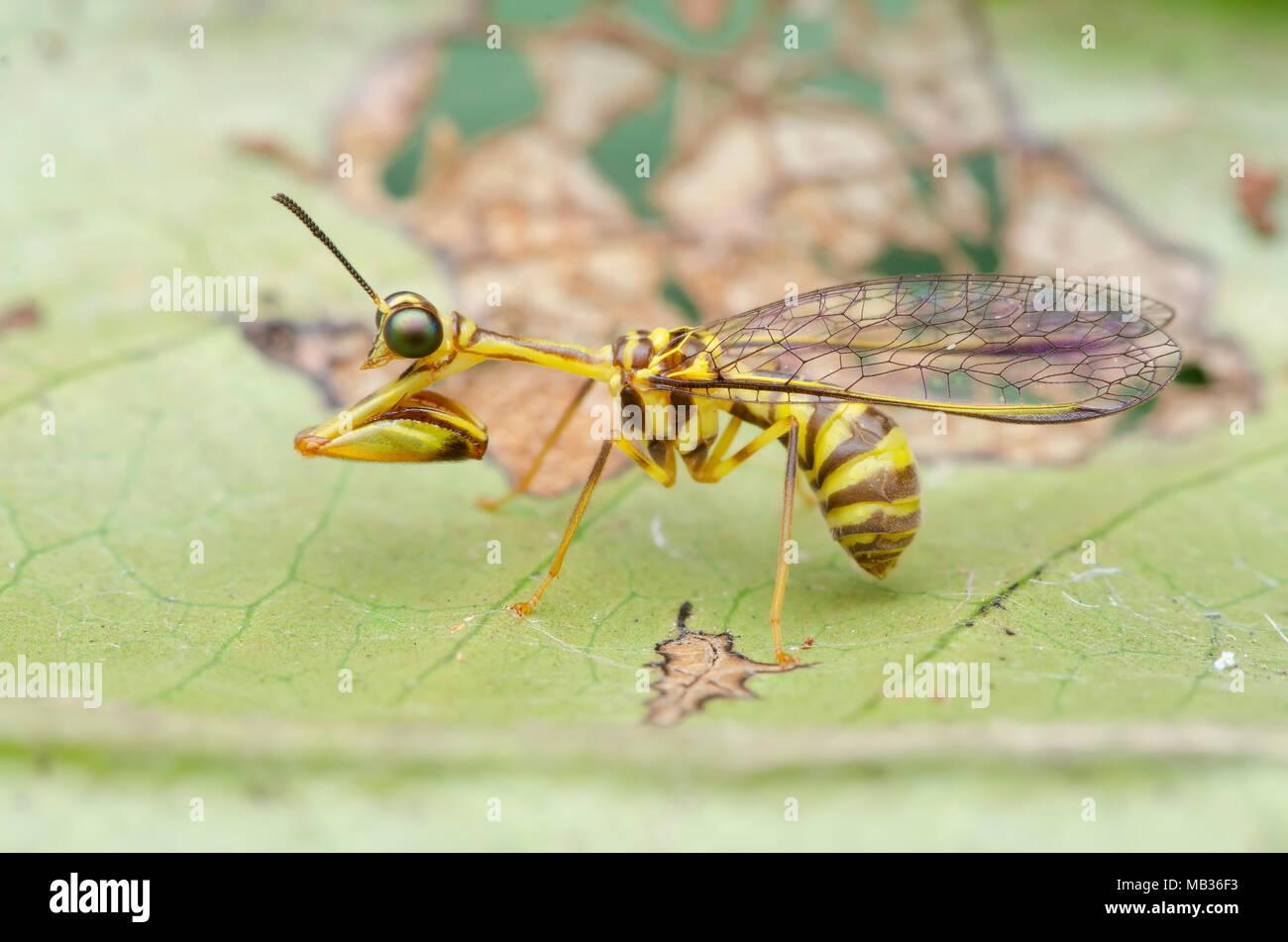 Mantid florfliegen auf grünes Blatt, Malaysia Arten. Stockbild