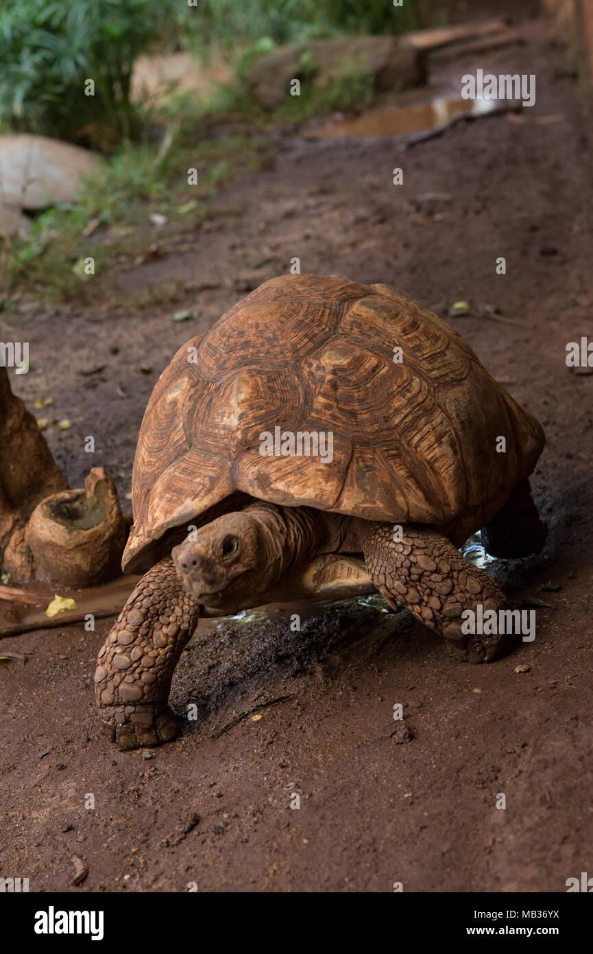 Leopard Tortoise, Stigmochelys pardalis, Testudinidae, Kenia, Afrika Stockbild