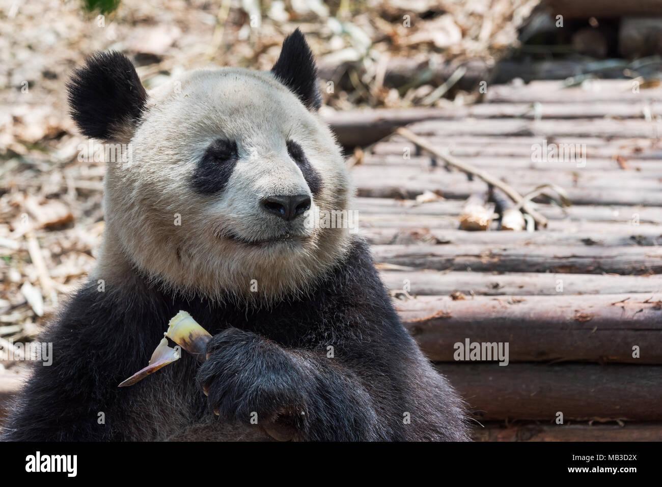 Panda Essen Bambus Closeup Chengdu China Stockfoto Bild