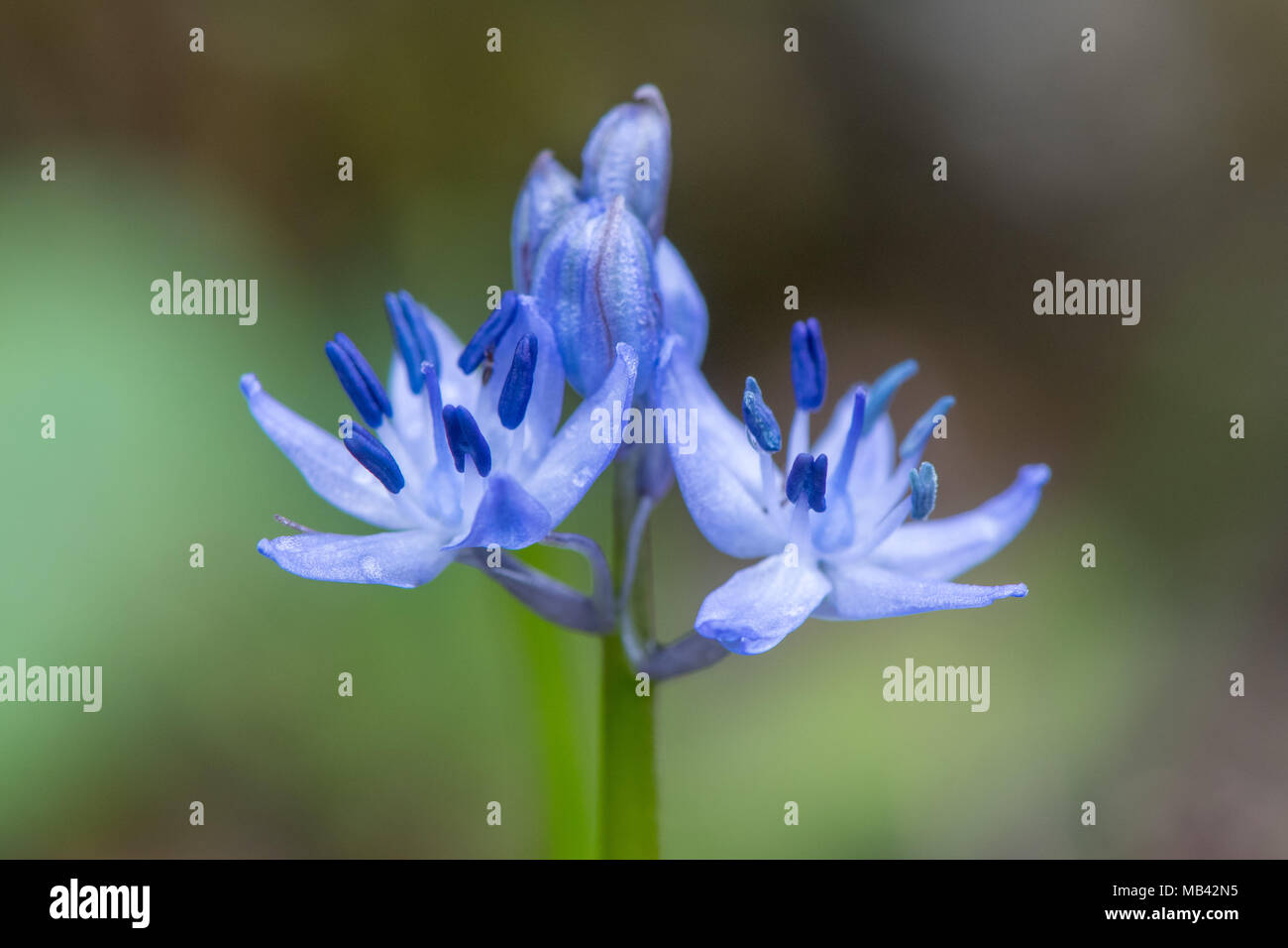 Blumen von Scilla sp. angezeigt blau Staubbeuteln. Frühling - blühende Glühbirne in der Familie Asparagaceae, blühen in Badewanne Botanische Gärten Stockbild