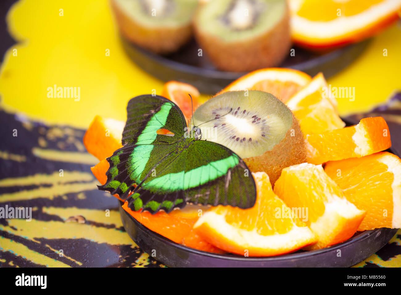 Emerald Schwalbenschwanz Schmetterling (Papilio Palinurus-arten) schmecken frische Früchte Stockbild