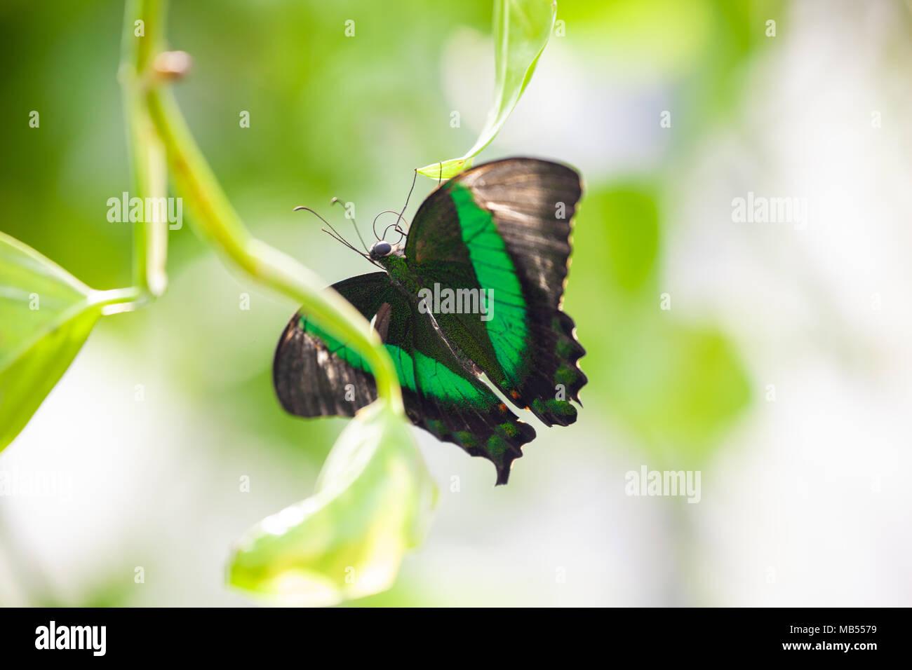 Emerald Schwalbenschwanz Schmetterling (Papilio Palinurus-arten) Festhalten an ein Blatt. Stockbild