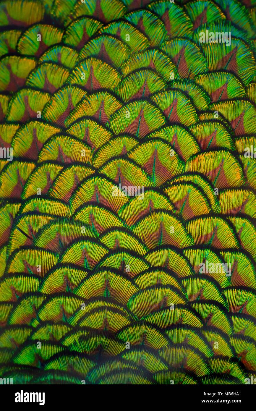 Nahaufnahme der Pfauenfeder für Hintergründe Stockbild