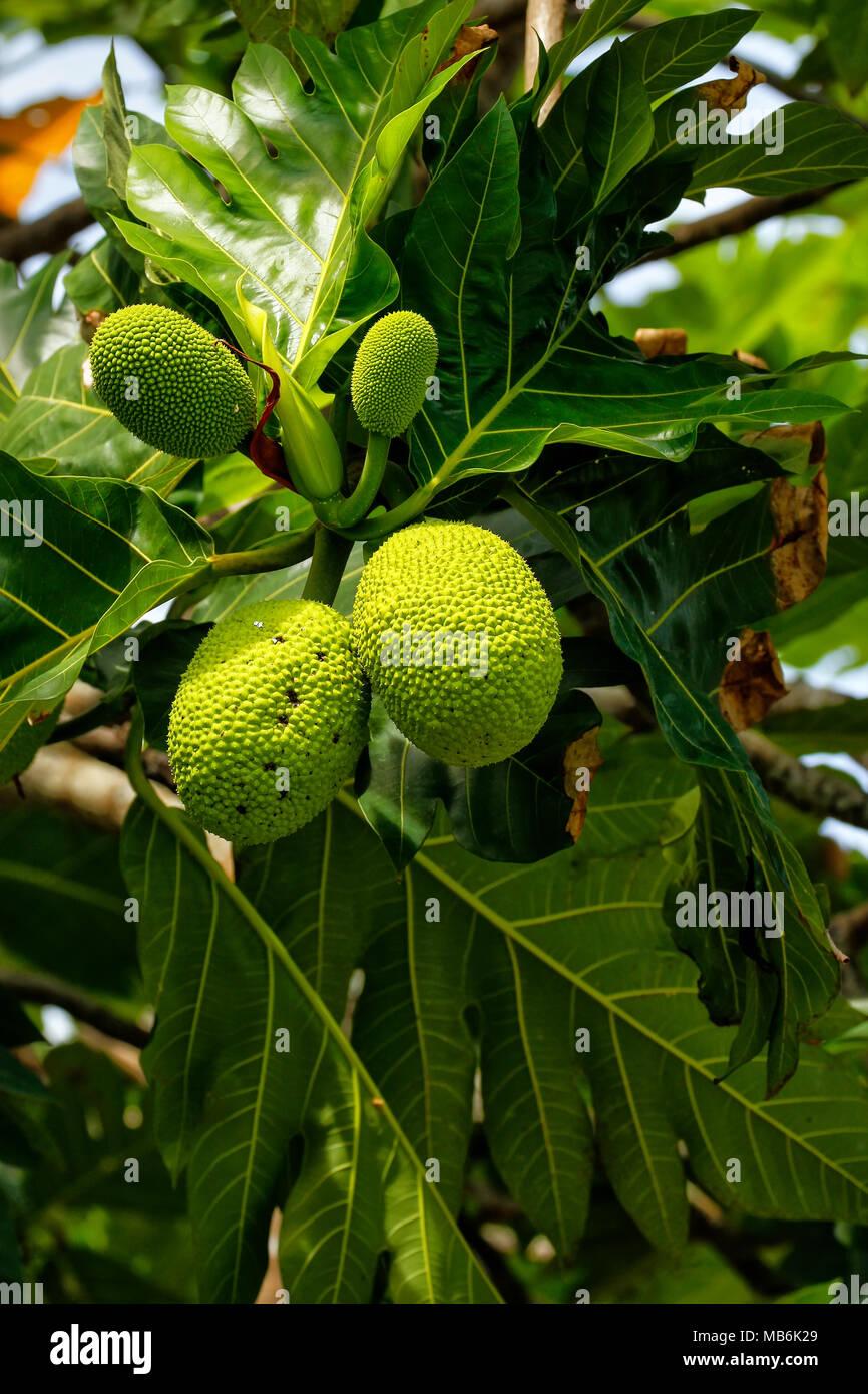 Brotfruchtbaum (Artocarpus Altilis) mit Früchten. Brotfrucht stammt aus Süd-Pazifik und wurde schließlich mit dem Rest von Ozeanien verbreitet. Stockbild