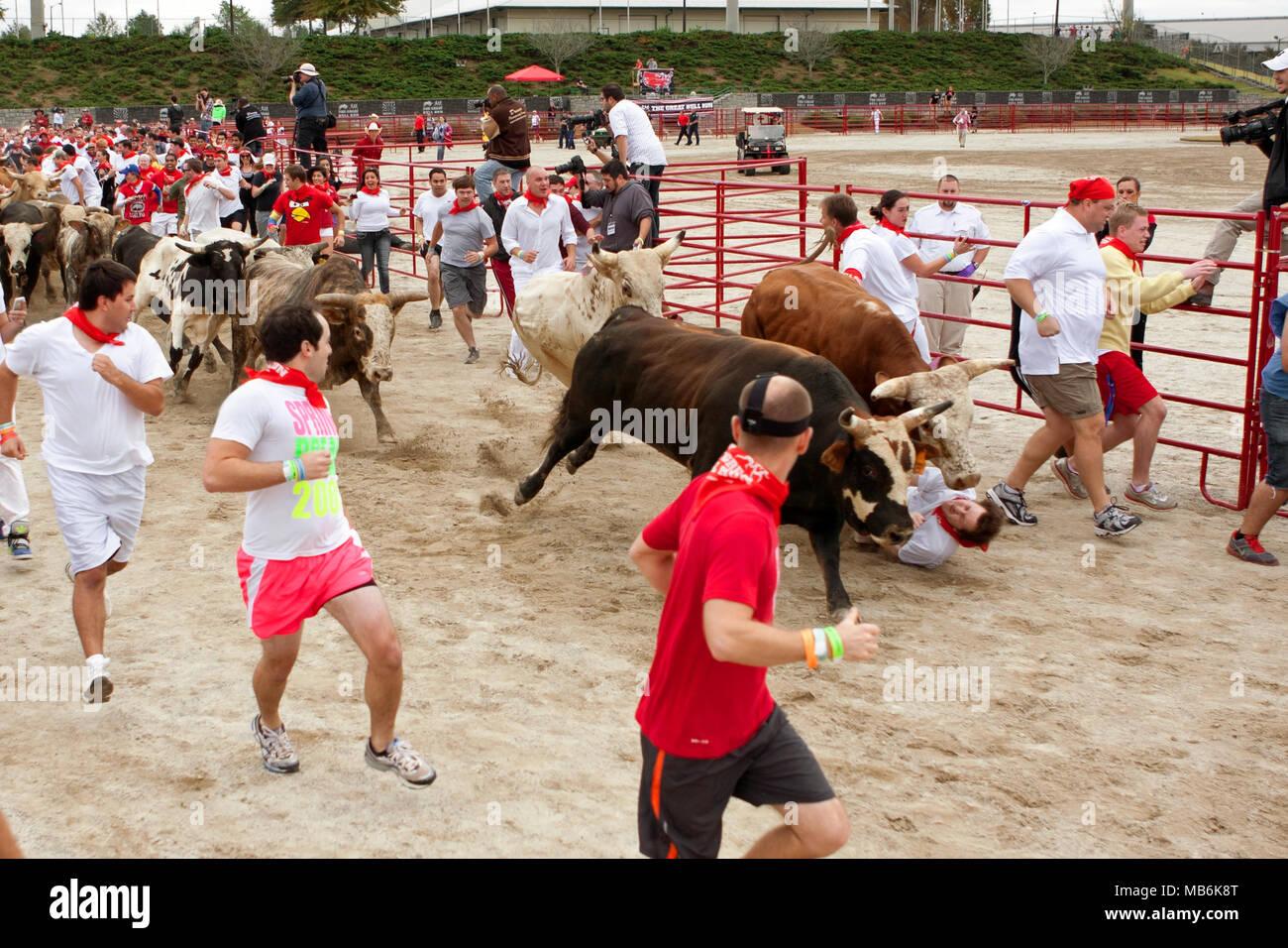 Ein Mann fällt zwischen zwei Ochsen und wird mit Füßen getreten Mit der Stiere an den großen Bull Run am 19. Oktober 2013 in Atlanta, GA. Er ging weg. Stockbild