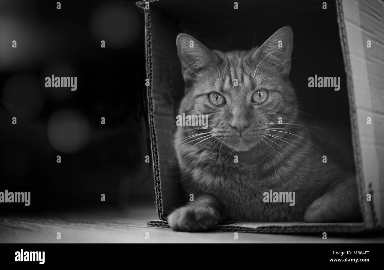 Tabby Katze in einem Karton und Blick in die Kamera sitzen. Stockbild