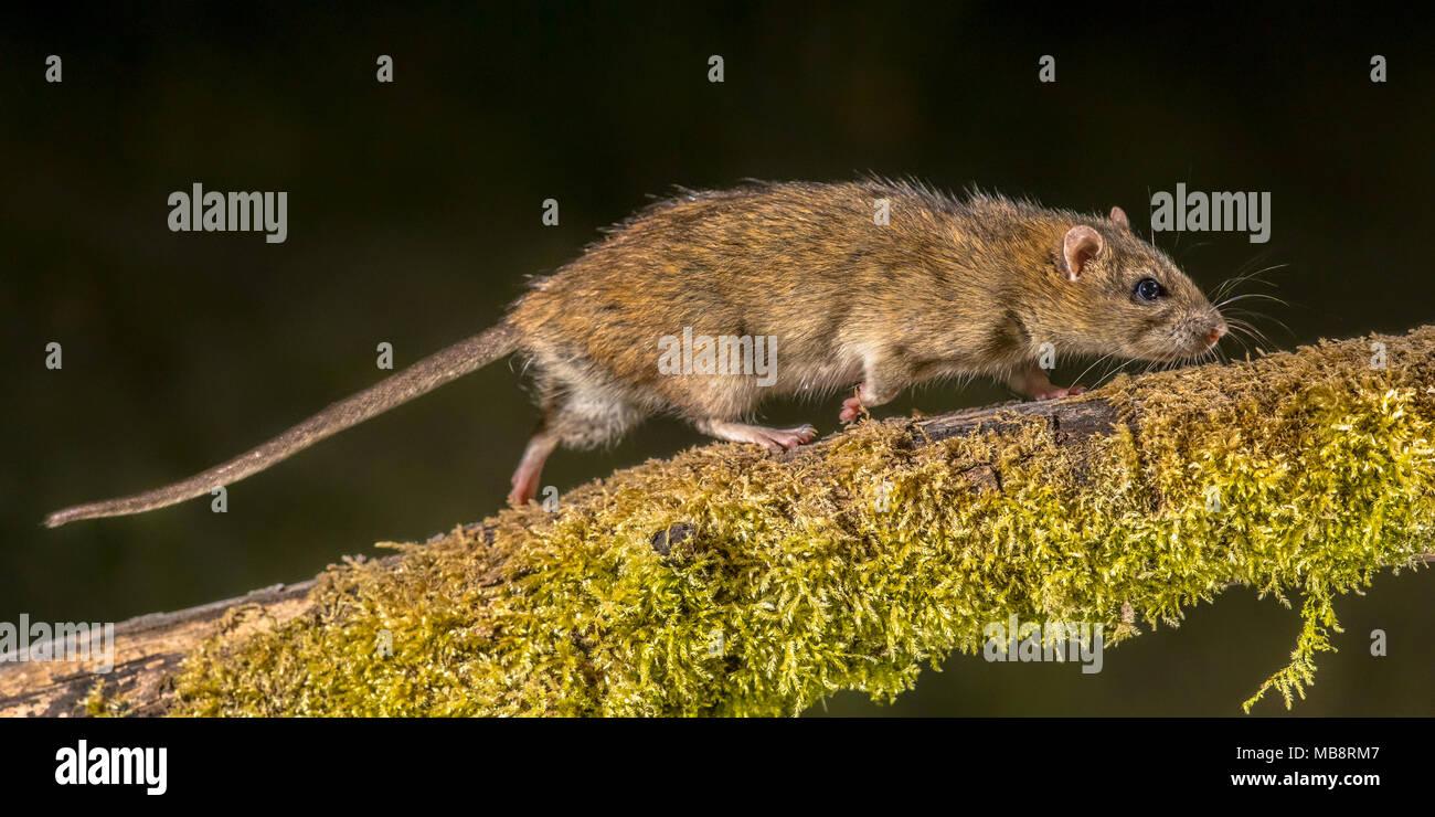 Starke wilde braune Ratte (Rattus norvegicus) drehen auf Log in der Nacht. High Speed Fotografie Bild Stockbild