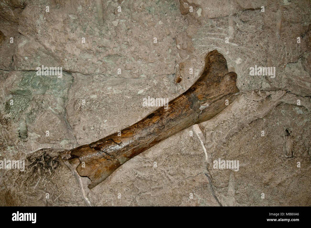 Hohl Dinosaurierknochen Fossil aus der oberen Jurassic Morrison Formation auf Anzeige im Steinbruch Ausstellungshalle im Dinosaur National Monument, Utah Stockbild
