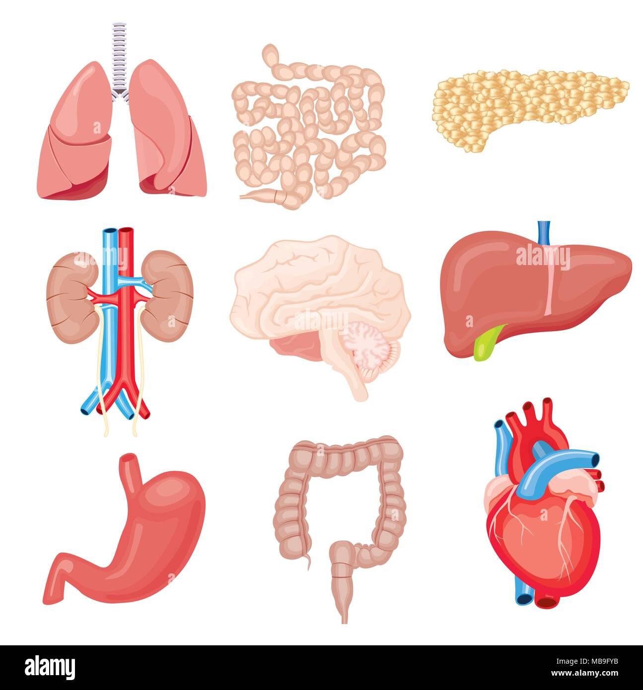 Menschliche innere Organe isoliert auf Weiss. Vector Illustration ...