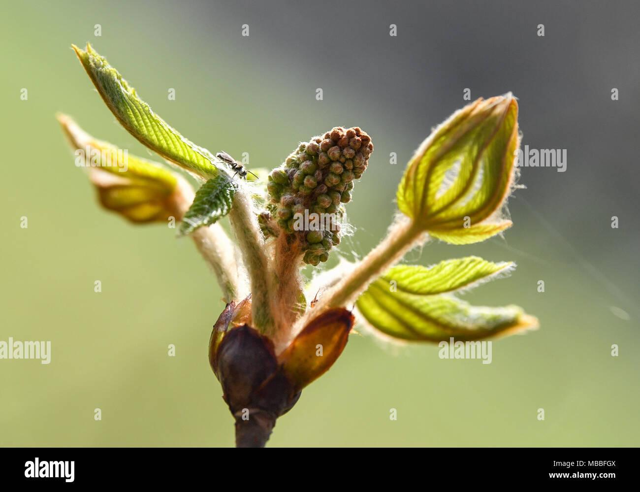10 April 2018, Deutschland, Neuhardenberg: das Licht Grün einer chestnut Bud brilliert im Schlosspark. Heute ist ein warmer Frühling Tag mit 20 Grad nach Angaben der Meteorologen zu sein. Foto: Patrick Pleul/dpa-Zentralbild/dpa Stockfoto