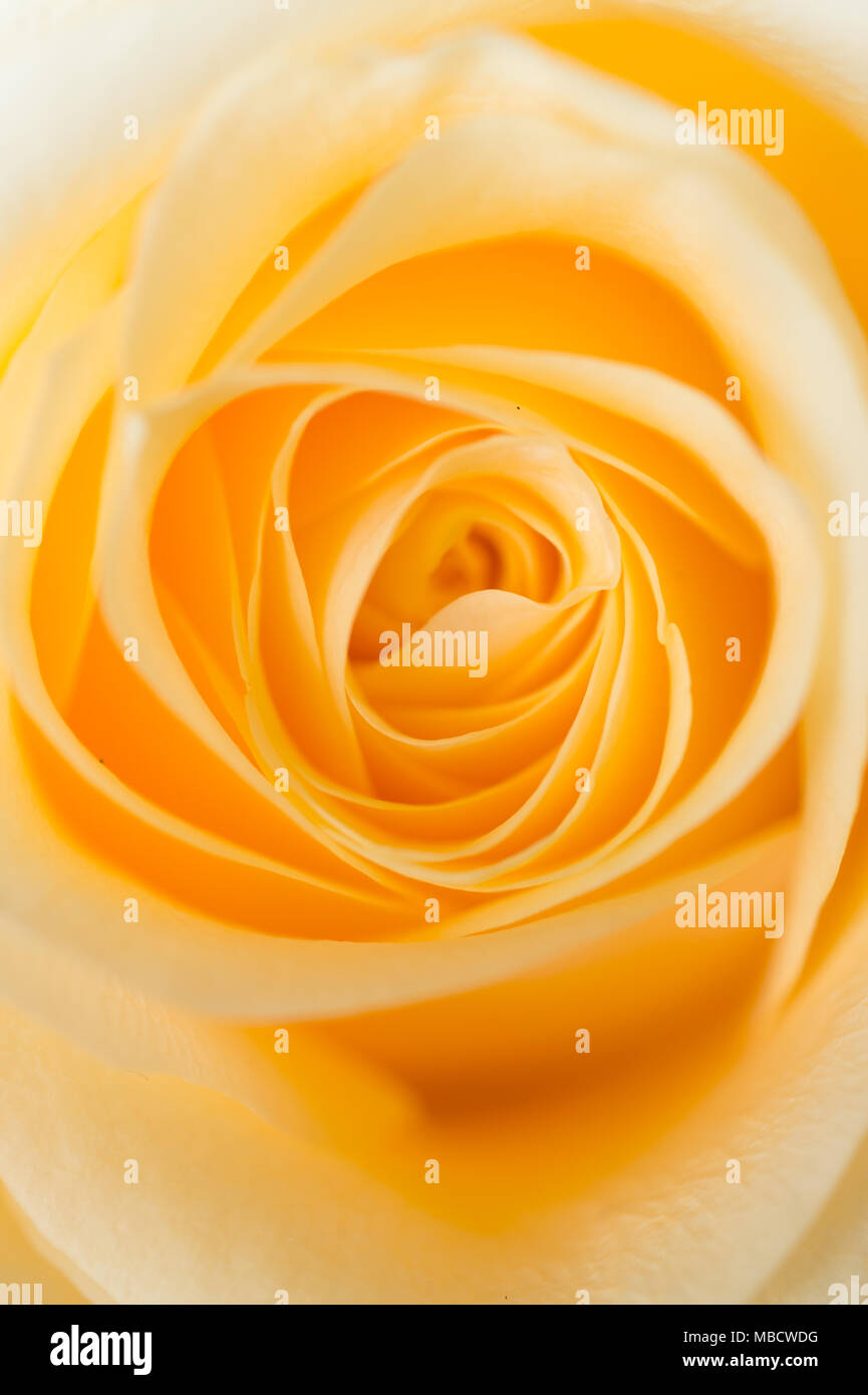 Makroaufnahme Der Schonen Apricot Farbe Rose Floral Background