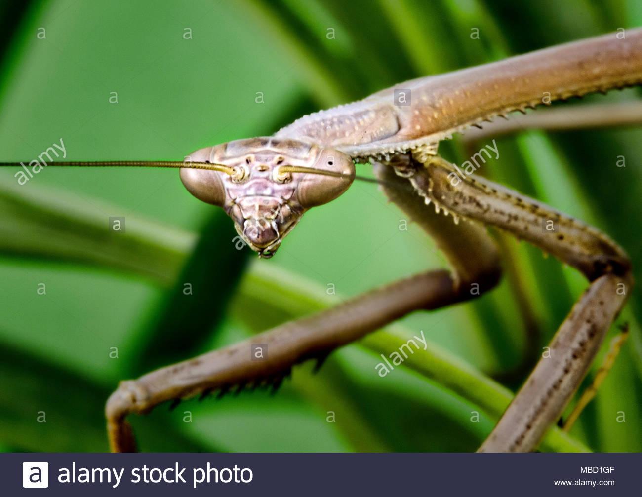 Gottesanbeterin Insekt in der Nähe Stockbild