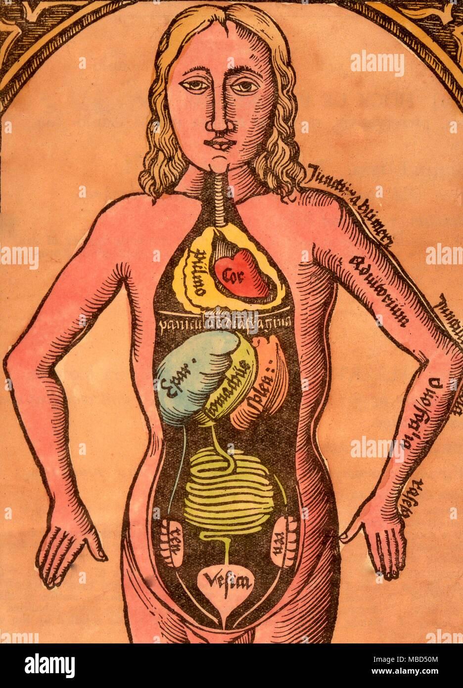 Tolle Organe Innerhalb Des Körpers Zeitgenössisch - Menschliche ...