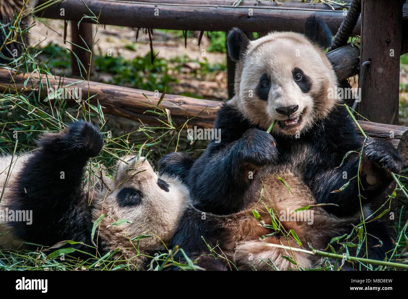 Ein riesiger Panda in einem Gehäuse in Chengdu Panda Forschungs- und Aufzuchtstation in China Stockbild