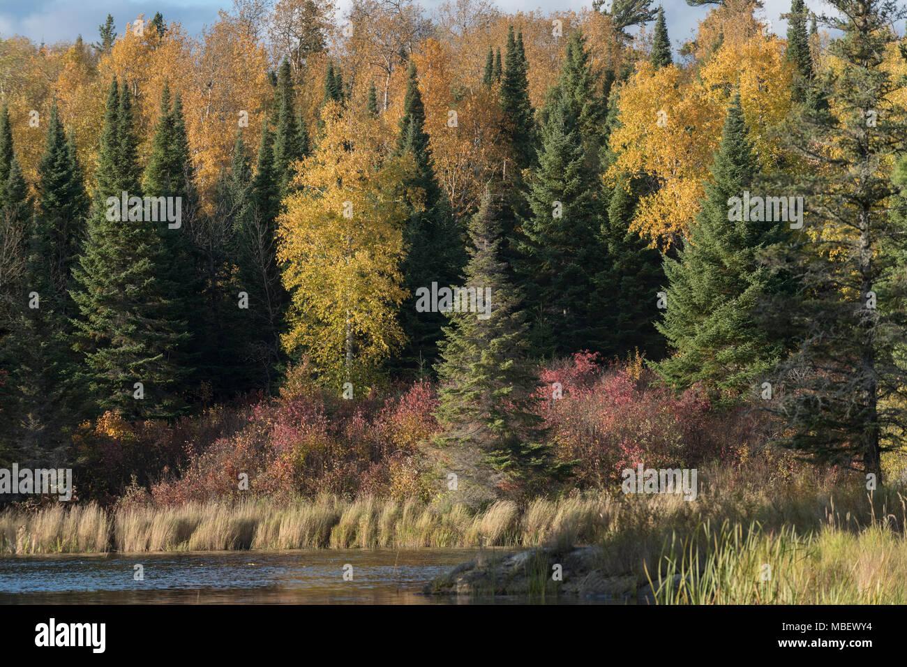 Baume Im Wald Im Herbst Kenora See Des Holzes Ontario Kanada