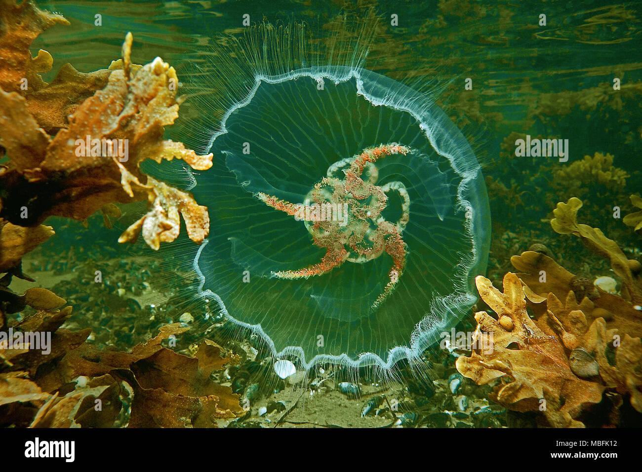Ohrenqualle (Aurelia aurita) auch Mond-Qualle genannt, Ostsee, Deutschland | Moon Jelly (Aurelia aurita), Ostsee, Deutschland Stockfoto
