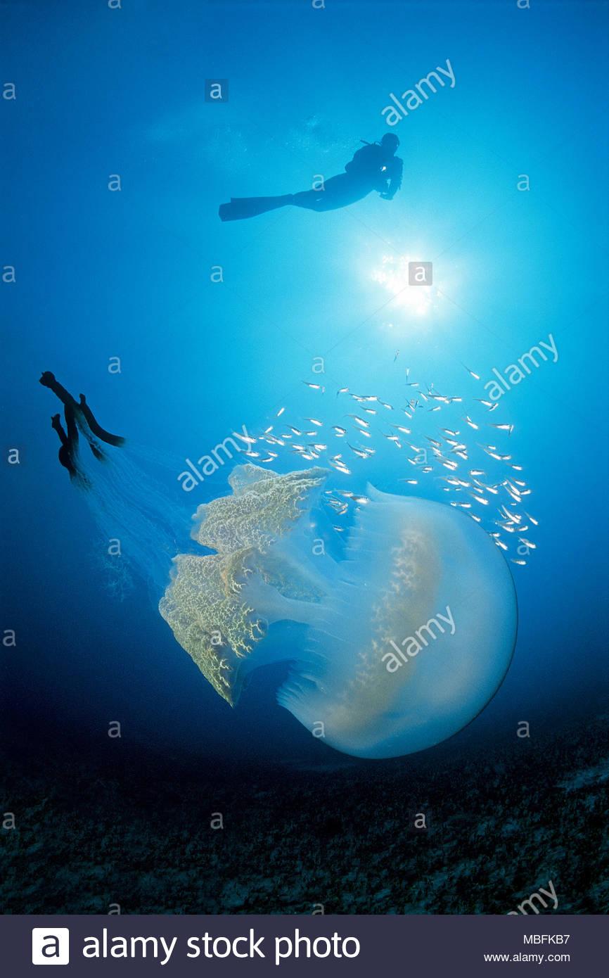 Scuba Diver und Blumenkohl Quallen (Rhizostoma Octopus), Puerto Mogan, Gran Canaria, Kanarische Inseln, Spanien Stockbild