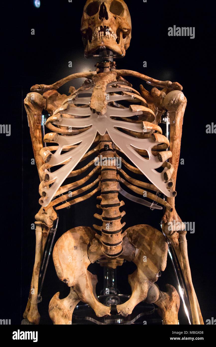 Als 'Archer' das Skelett Skelett Anzeige vom Wrack der Mary Rose zurückgewonnen wurde beschrieben. Die Mary Rose Museum, Historic Dockyard, Portsmouth, Großbritannien Stockbild