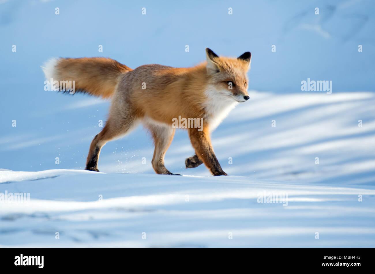 Ein roter Fuchs Spaziergänge entlang über den Schnee Stockbild