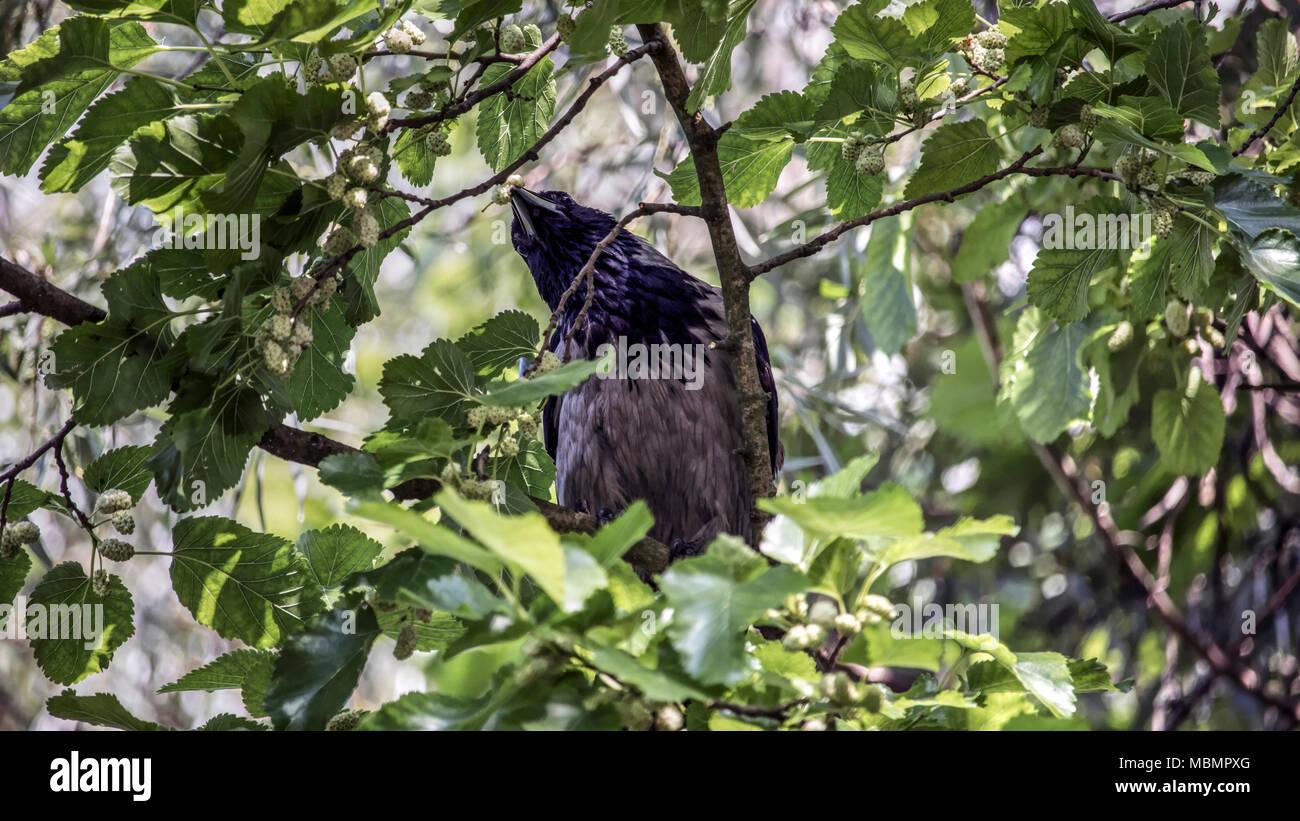 Serbien - Nebelkrähe (Corvus cornix) Essen white Mulberry in einem Tree Top Stockbild