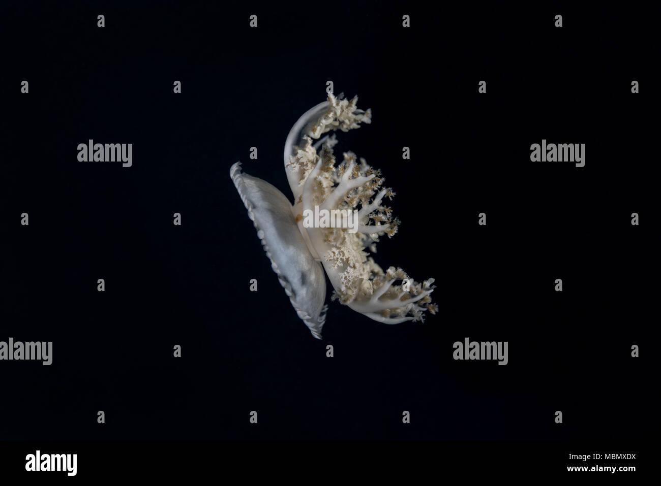 Kopfüber Quallen (Cassiopea Andromeda) in der Nacht Stockfoto