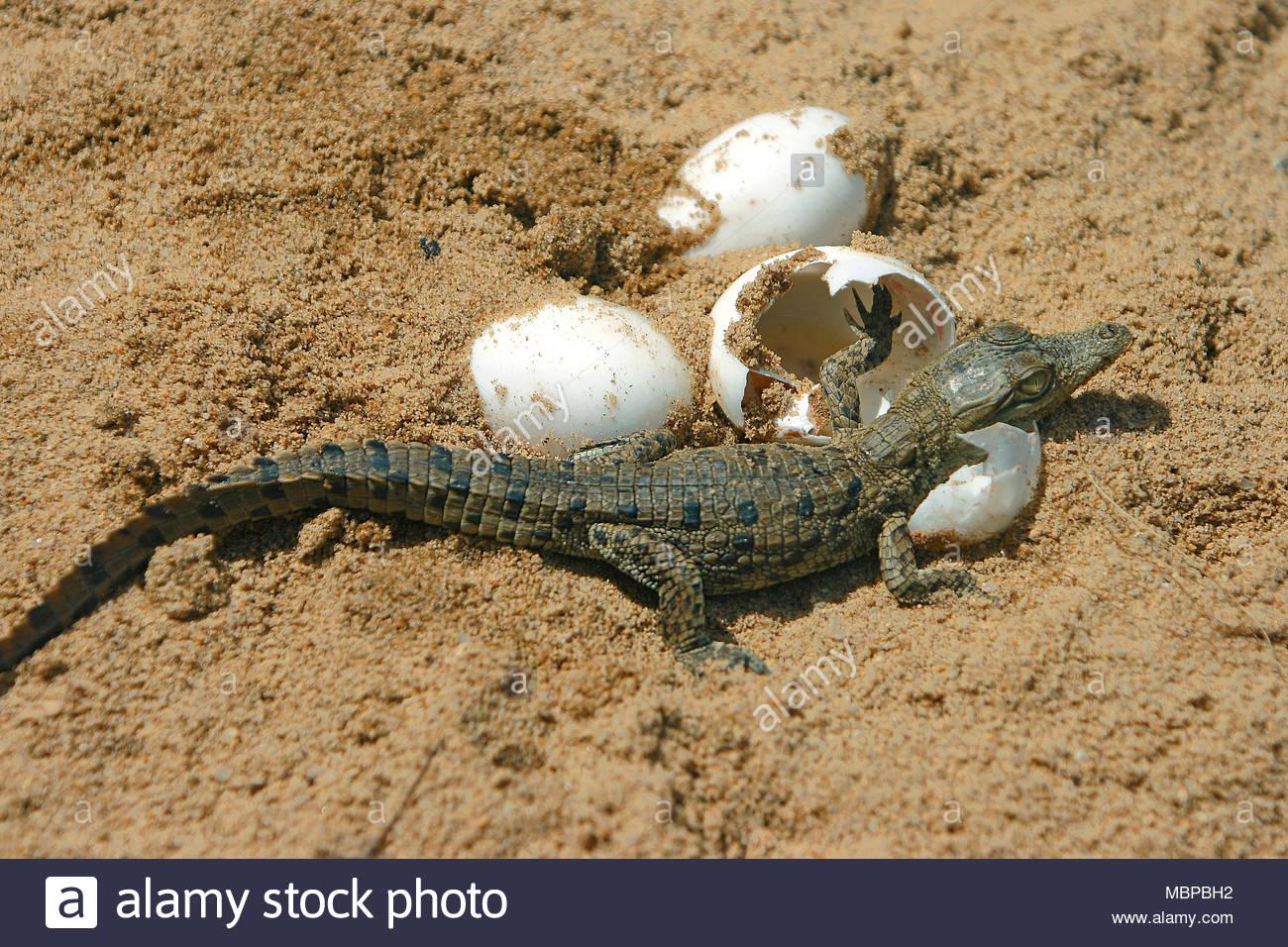 Schluepfendes Nilkrokodil (Crocodylus niloticus), Krokodilbaby, Kenia, Afrika | Nilkrokodil (Crocodylus niloticus), Schraffuren, Kenia, Afrika Stockbild
