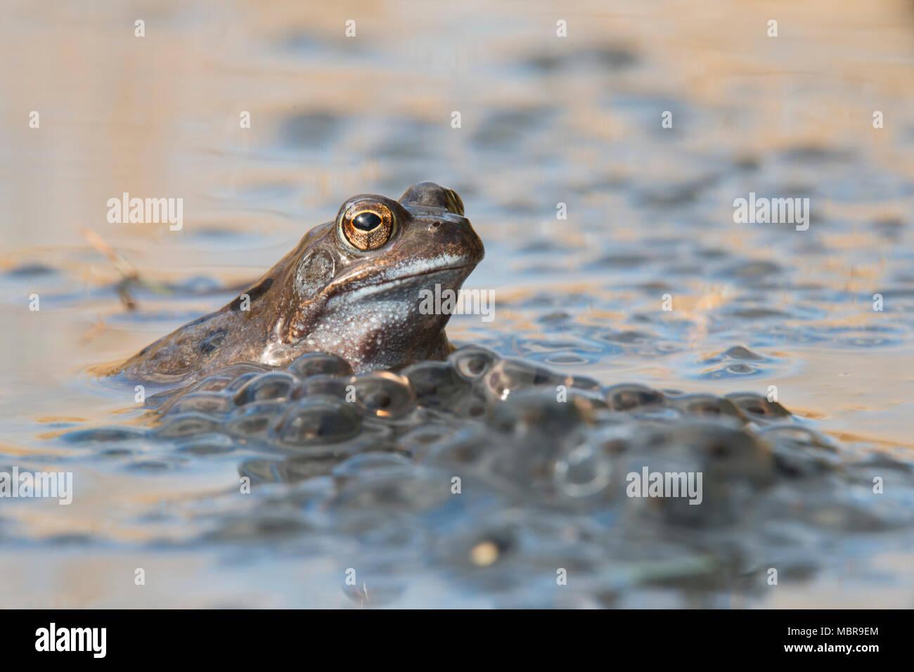 Grasfrosch (Rana temporaria) laichen in Gewässern, Emsland, Niedersachsen, Deutschland Stockbild