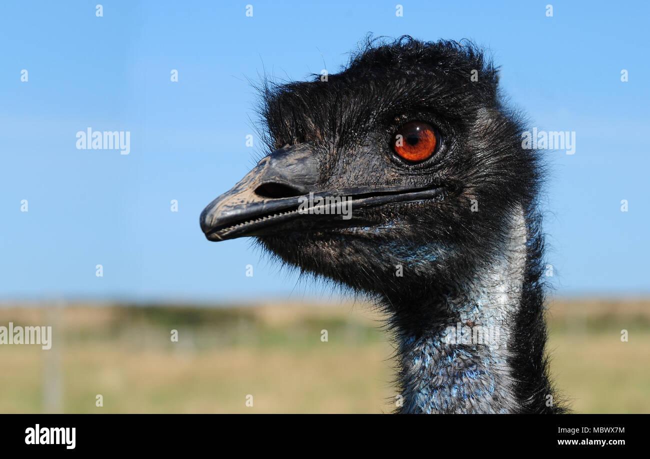 Nahaufnahme der Kopf eines Emu (Dromaius novaehollandiae) Stockbild
