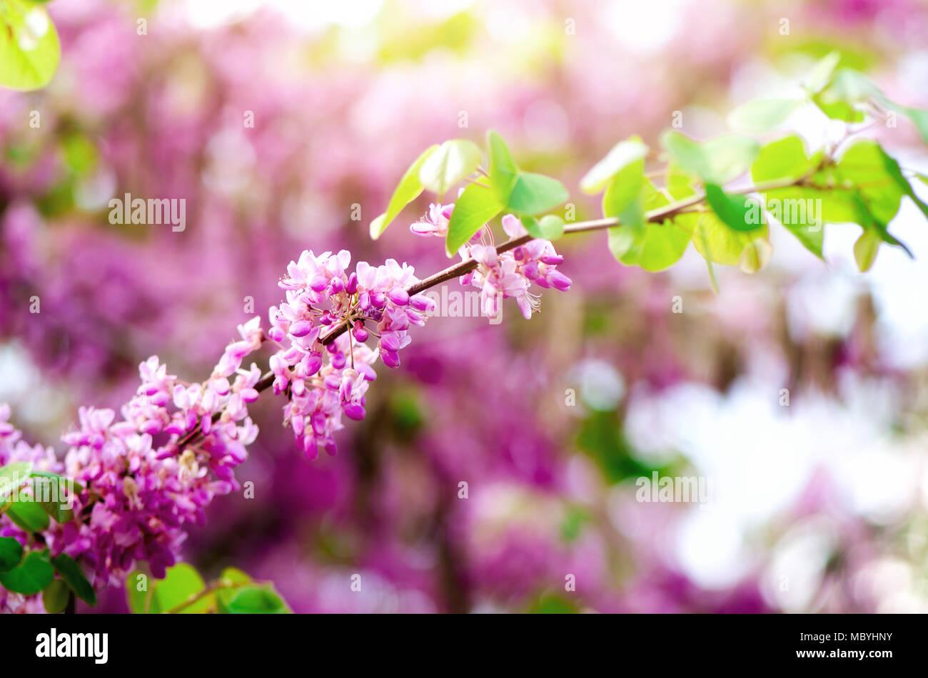 reifer östlicher Redbud Baum