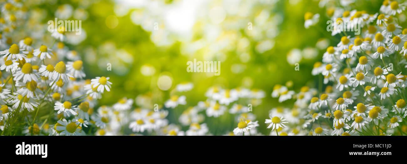 Kamille Garten am Morgen Stockbild