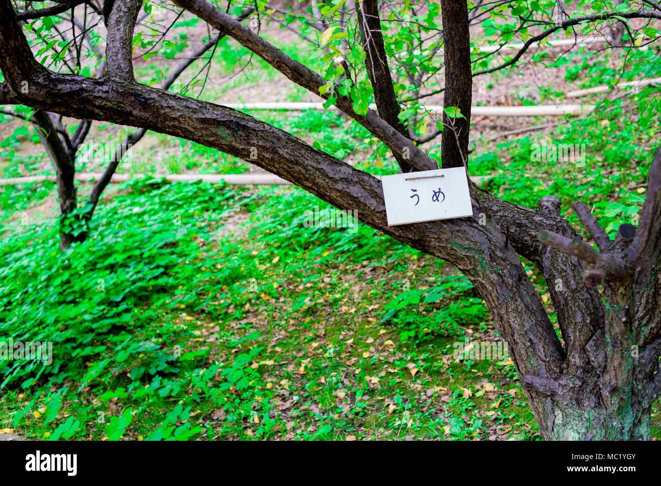 Ume Baum in Kyoto, Japan. Kyoto ist mit der japanischen traditionellen Atmosphäre von vor langer Zeit eingerichtet. Stockbild