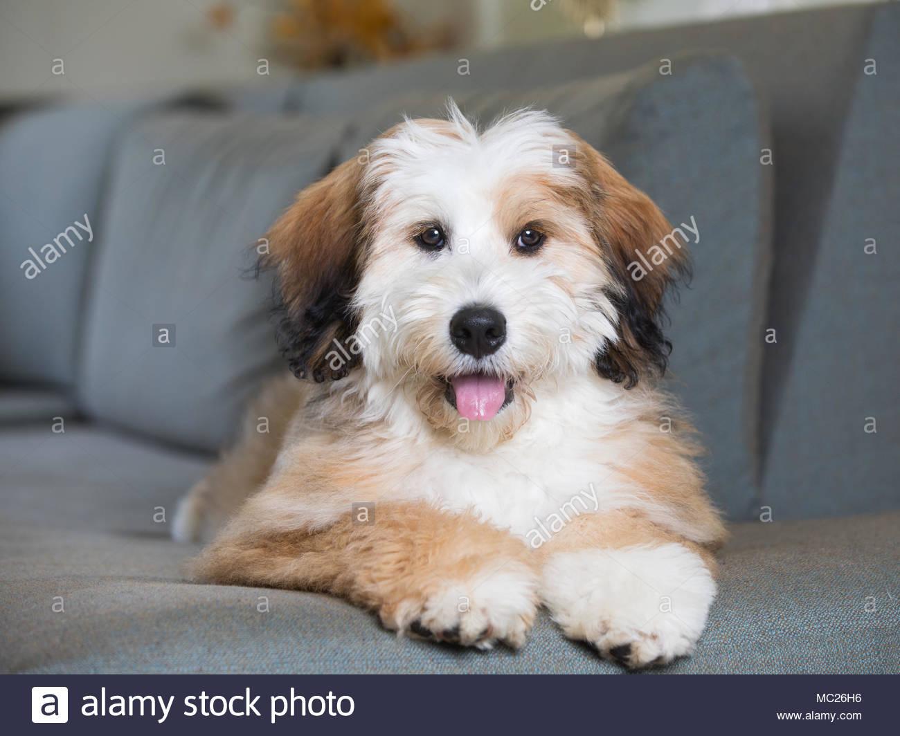 Happy Bernedoodle Welpen liegen auf dem Tisch mit den Kopf in die Kamera lächelnd Mit herausgestreckter Zunge Stockbild