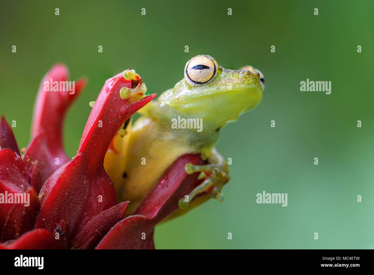 Rot-webbed Laubfrosch - Hypsiboas rufitelus, schönen grünen Frosch aus Mittelamerika, Wälder, Costa Rica. Stockbild