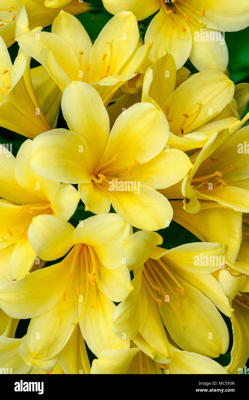 Clivia, der Amaryllidaceae, Clivia miniata, Kaffir Lily, Zypressen Garten, Mill Valley, Kalifornien Stockbild