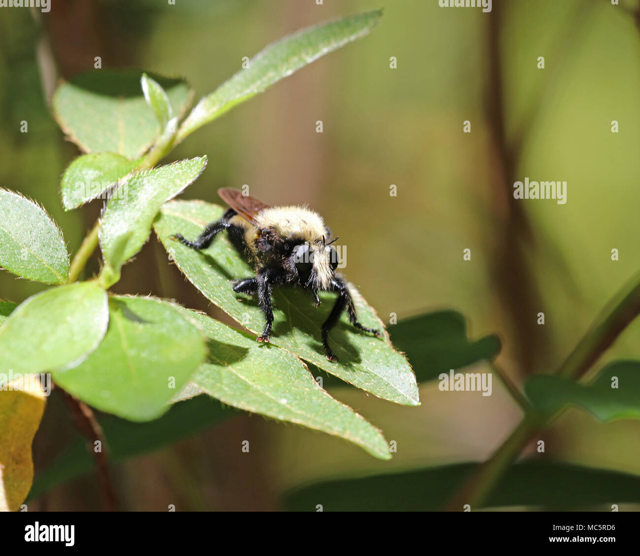 Nahaufnahme einer Florida Biene Killer (Mallophora bomboides) Stockbild
